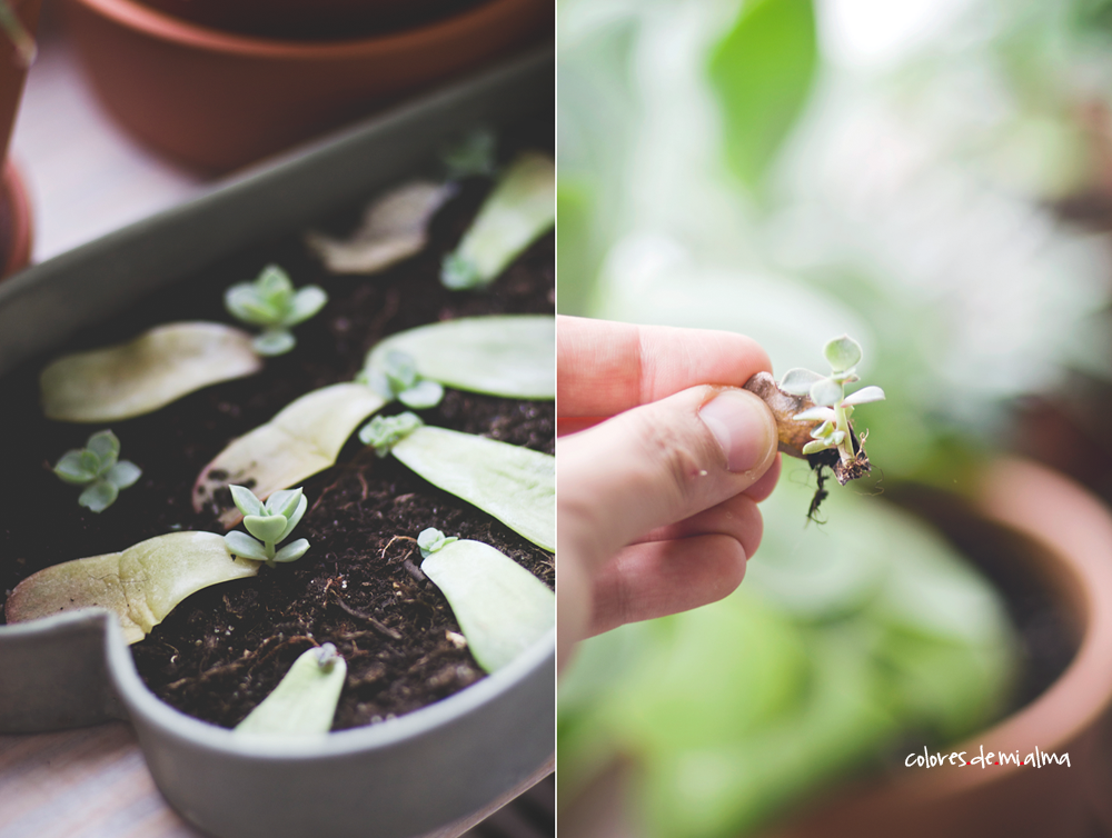 succulents propagation